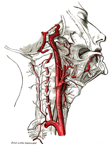 Blood flow to the brain via Carotid and Vertebral arteries